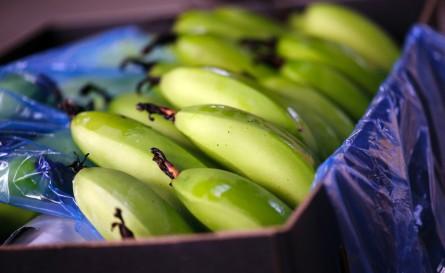 http://www.shoobridge.com.au/wp-content/uploads/Bananas-1-445x273.jpg